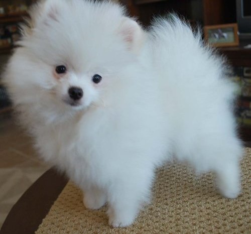 adopt pomeranian puppies white teacup pomeranian puppies keywordsfind com 6385
